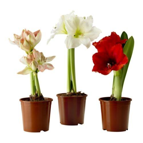 Купить цветы для дома киев пионы доставка цветов псков