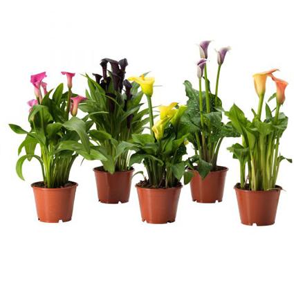 Домашние цветы в горшках купить киев кирсанов доставка цветов